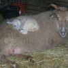 Thumbnail image for 11 Year Old Shetland Ewe Has Triplets!