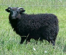 Black Shetland Ram Lamb