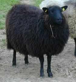 Black Shetland Ewe Lamb