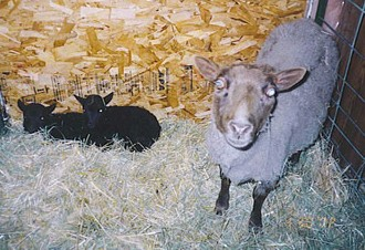 Musket Ewe With Lambs