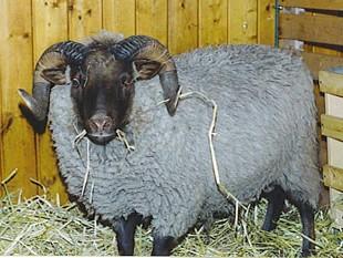 Musket Ram