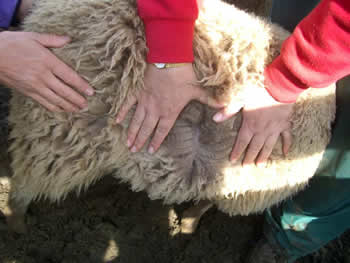 Fawn Ewe Lamb