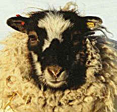 Ruby - Grey Smirslet Ewe