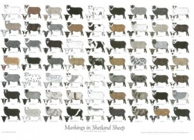 Markings in Shetland Sheep Poster