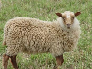 Mioget Ewe Lamb