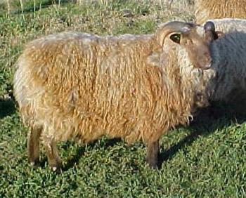 Musket Ram Lamb