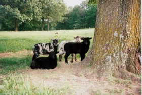 Shetland Ram Lambs