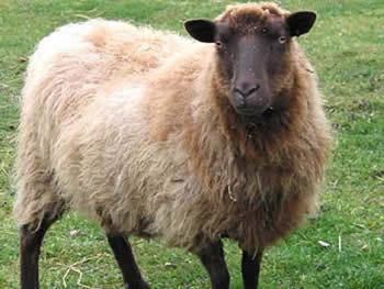 Moorit Ewe