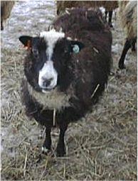 Smirslet Ewe