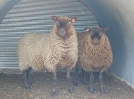 Shetland Ewes
