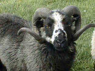 Bleset Ram