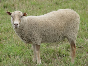Single-Coated Ewe
