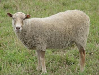 Single-Coated Ewe