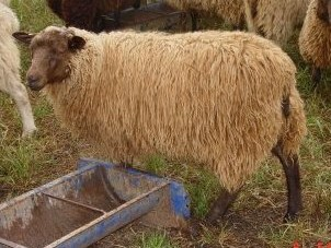 Double-Coated Ewe