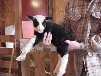 Zorro, a Sokket Yuglet Ram Lamb