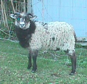 Bielset Ram