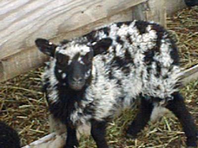 Blaget Ewe Lamb