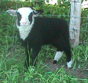 Fronet Ewe Lamb