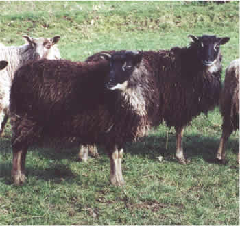 A Pair of Gulmoget Ewes