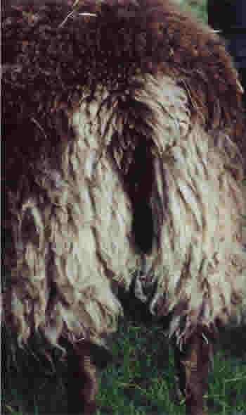 Tail of a Gulmoget Ewe