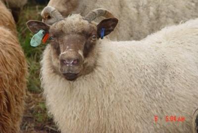 Horned Shetland Ewe