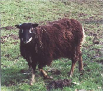 Gulmoget Ewe