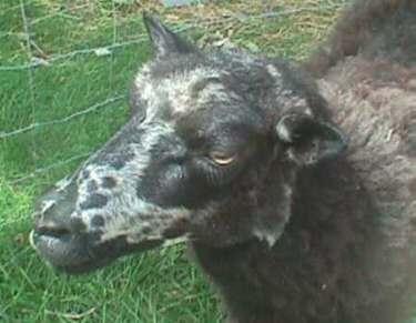 Sponget Ewe
