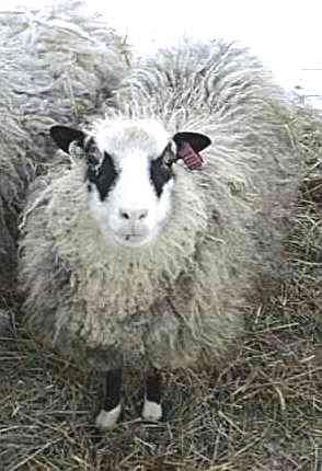 Yuglet Lamb