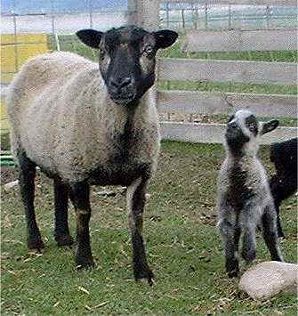 Katmoget Ewe with Lamb